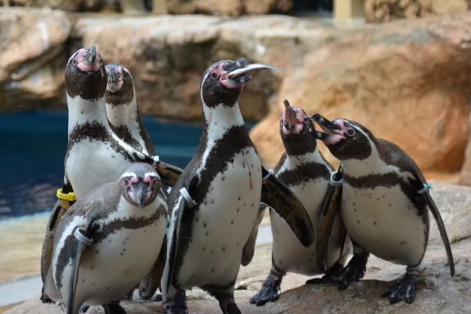 フンボルトペンギンの「お食事タイム」