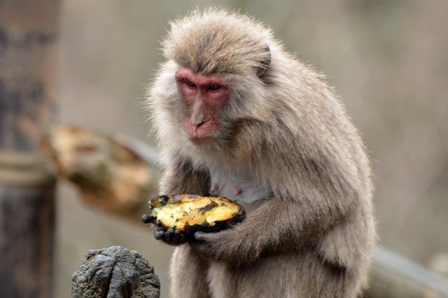 焼イモを食べるヤクニホンザル