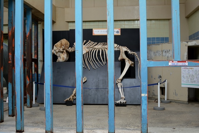 インドゾウ「ハナ子」の骨格標本