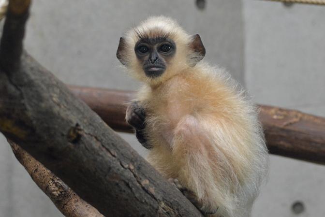 ハヌマンラングールの赤ちゃん(2015年7月に誕生)