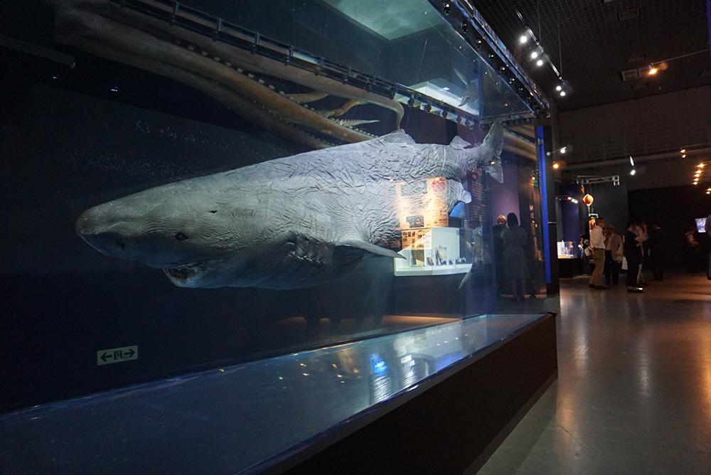 オンデンザメの標本