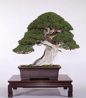 盆栽によく使われる「真柏(しんぱく)」