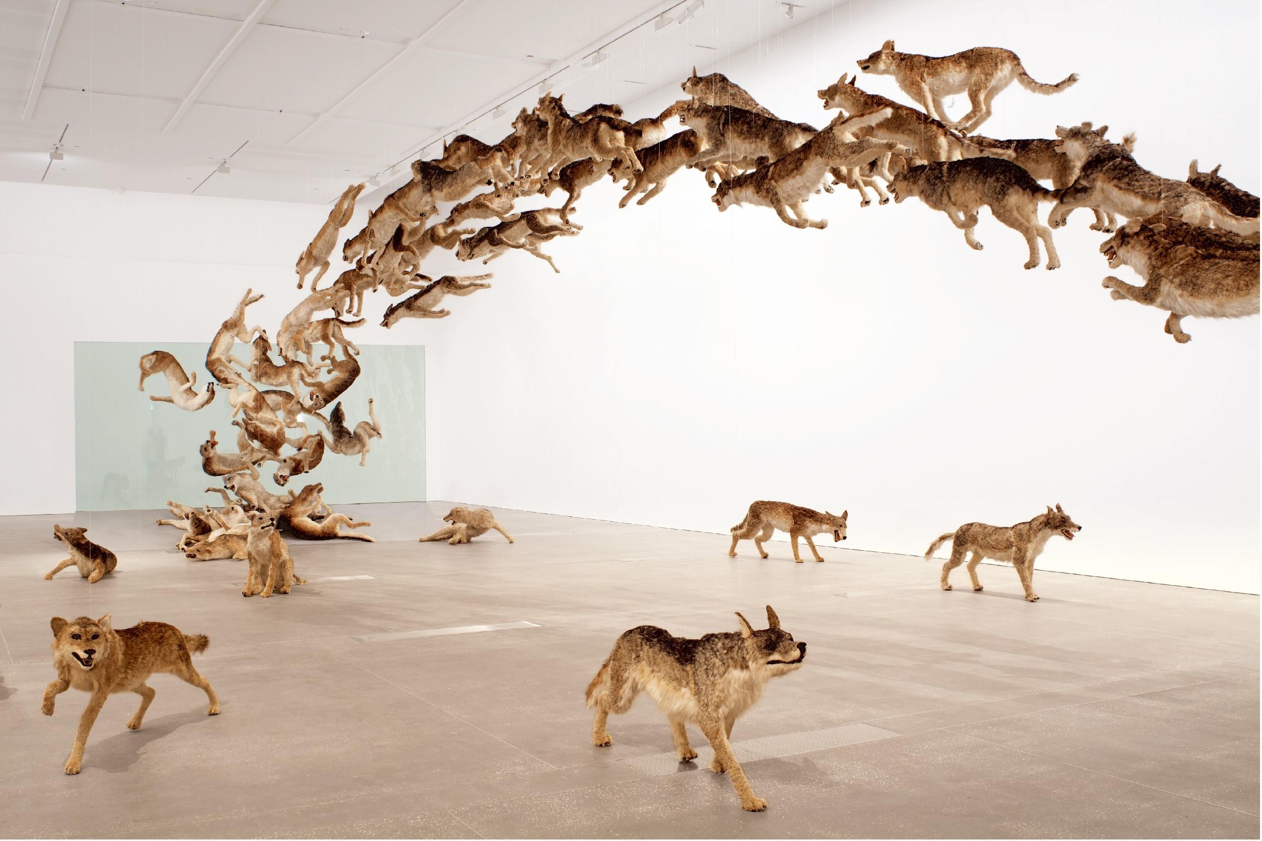 《壁撞き》2006年、 狼のレプリカ(99体)・ガラス、 サイズ可変、 ドイツ銀行によるコミッション・ワーク The Deutsche Bank Collection Photo by Jon Linkins, courtesy: Queensland Art Gallery | Gallery of Modern Art