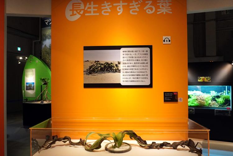 キソウテンガイ 国立科学博物館蔵 ※展示中のキソウテンガイは模型ではなく生きている。