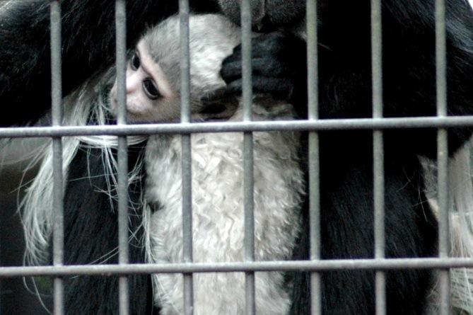 赤ちゃんはクセ毛(よこはま動物園ズーラシアにて2013年3月に撮影)