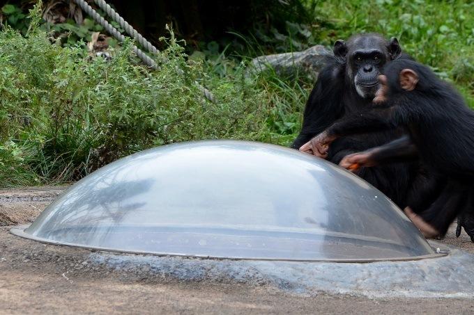 チンパンジーのおやつタイム
