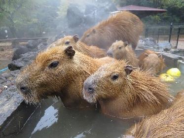 伊豆・長崎・埼玉・那須の4施設コラボ 第5回「カピバラの長風呂対決」開催決定