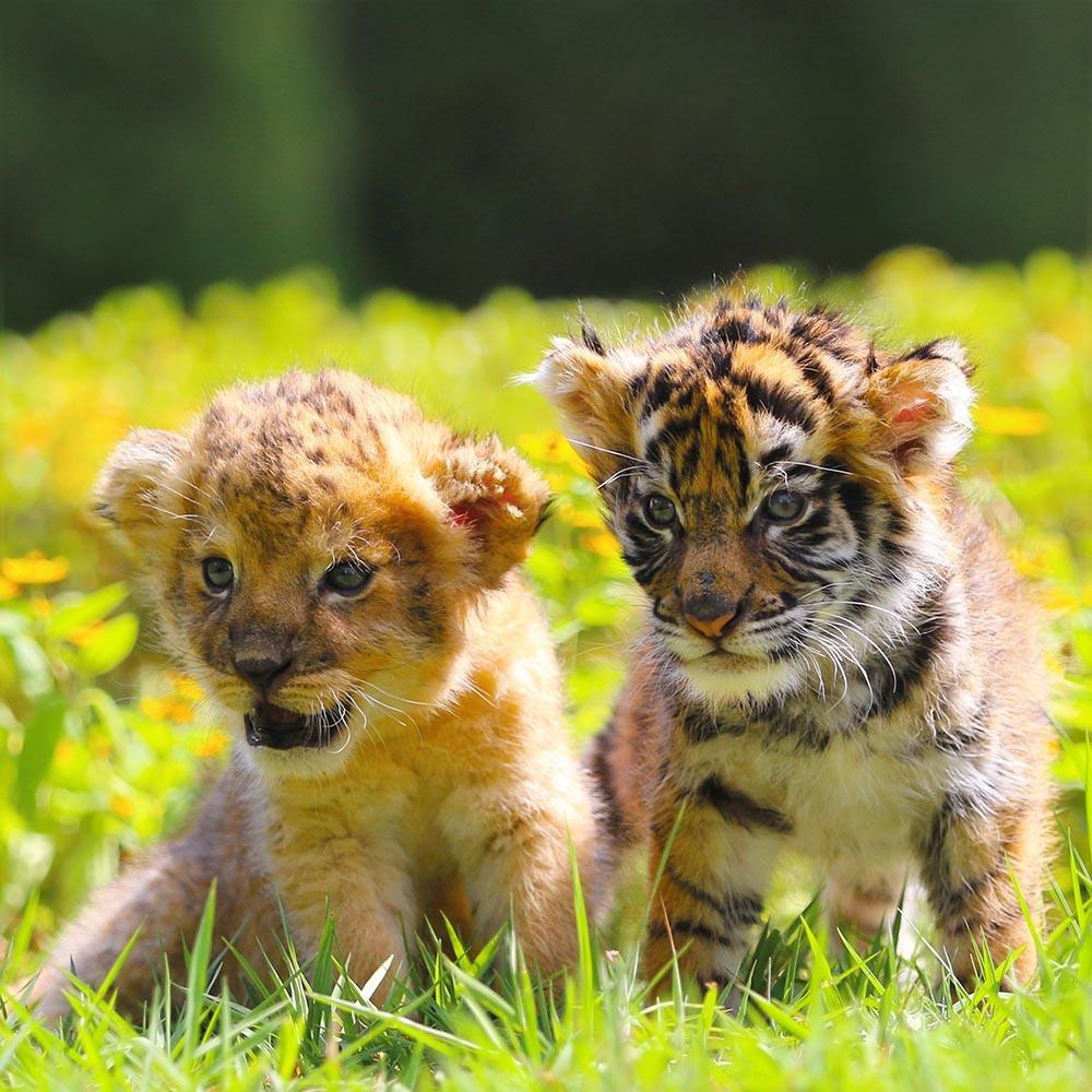 『もふもふ日誌~仔トラと仔ライオン、 ときどきウサギ~』