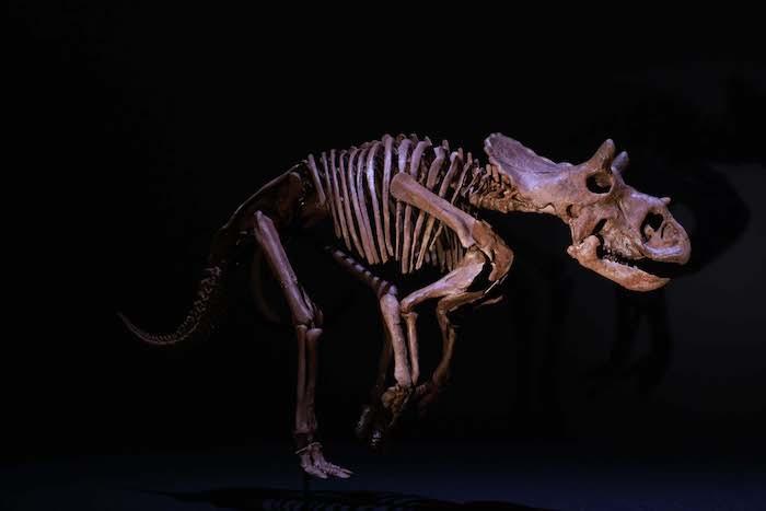 トリケラトプスの幼体