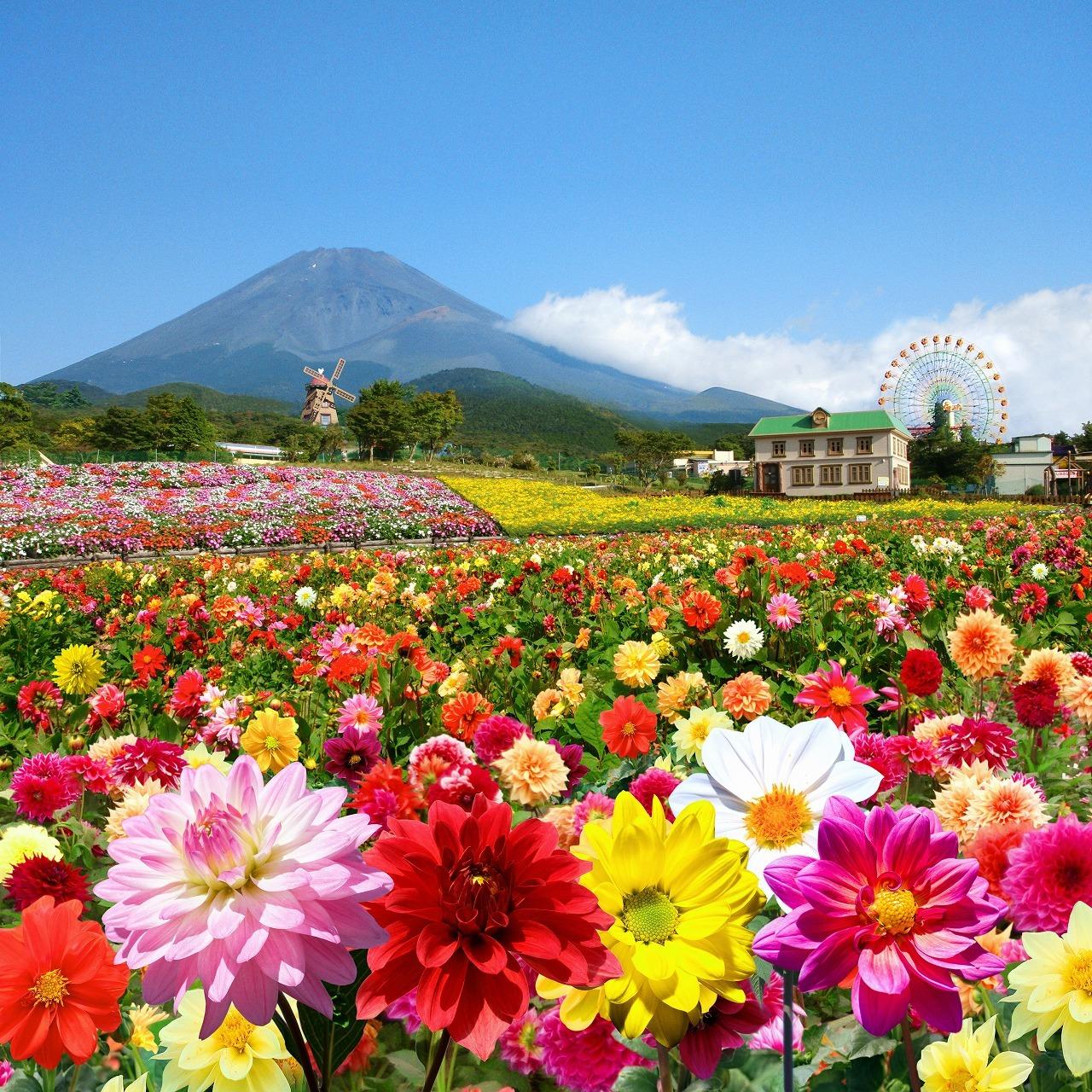 「富士山の裾野 天空のダリア祭り 2015」イメージ画像