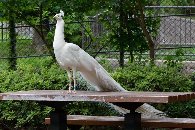 インドクジャク(白色個体)