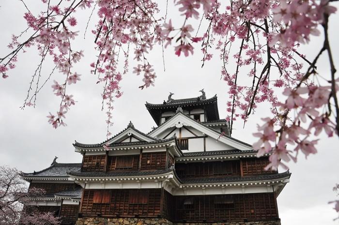 福知山城と桜。福知山は京阪神からのアクセスの要となる地点なので、この辺りに宿泊するのも旅の一つのテクニックだ。