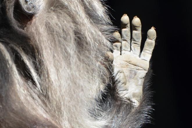 シシオザルの手(よこはま動物園ズーラシアにて撮影)