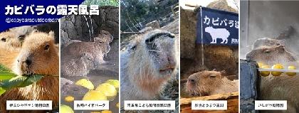 カピバラの長風呂対決、伊豆vs長崎vs埼玉vs那須vs石川の5園コラボで1月8日に開催
