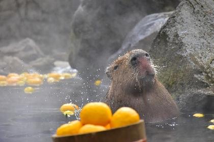 伊豆シャボテン動物公園で38年目の「元祖カピバラの露天風呂」開催