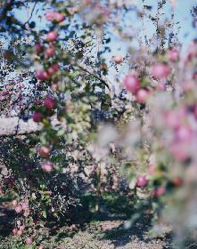 写真家が一瞬で眼を奪われた「林檎の木」とは 上田義彦の個展が小山登美夫ギャラリーで開催