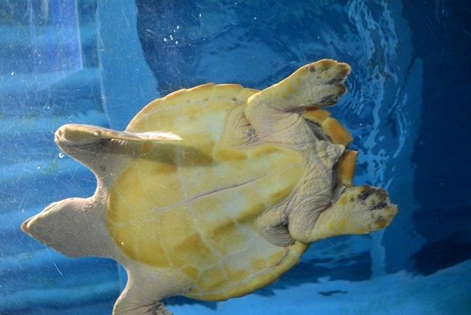 ウミガメが頭上を泳ぐ「ただよううみがめ館」